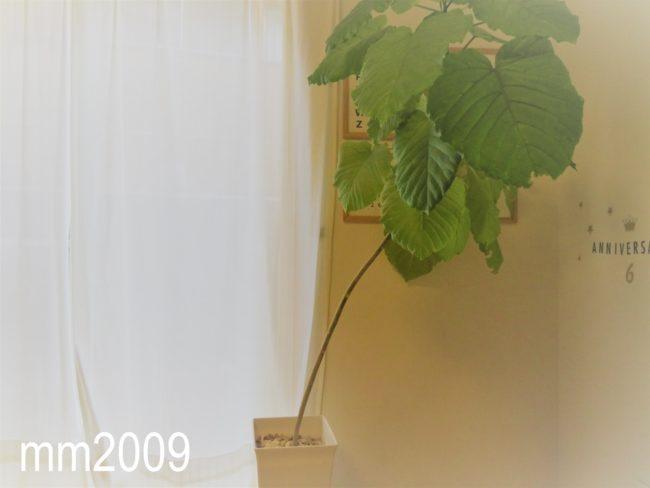 【ウンベラータ選定】選定後、枯れたりしない?我が家のウンベラータ成長記録